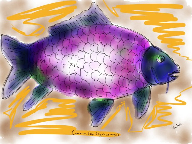 common-carp-by-zoe-s-todd